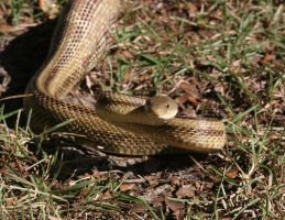 Yellow Rat Snake 20D0016965 by Cristian-M