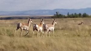 Antelope by ForevrAlone884