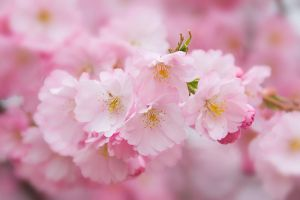 sakura time IV by stg123
