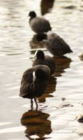 Coots All In A Row by Ember-Lee