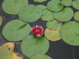 Pink Water Lily by Bianka98