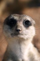 Suricata II by DSPHolthaus