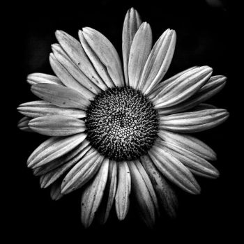 Backyard Flowers In Black And White 13 by thelearningcurve-da