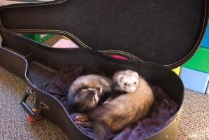 ferrets in a guitar case by iWearConverse