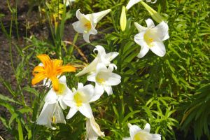 Easter Lilies by PatGoltz