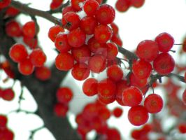 Crabby Cold Crabapples by sevymama