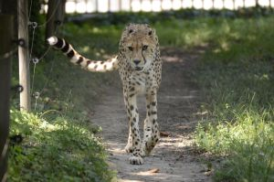 Cheeta 6 by Lakela
