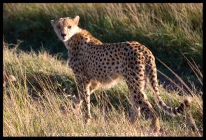 Kenya Wildlife 114 by francescotosi