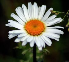 White daisy wild flower by MacroMagnificent