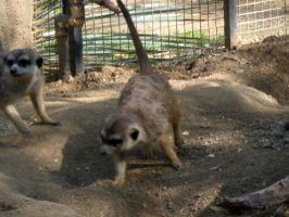 Meercat 7 by my-dog-corky
