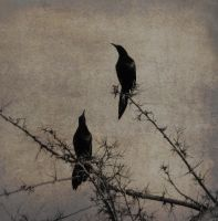 blackbirds by eocjtlels