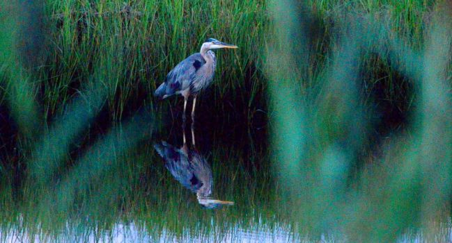 Blue Heron Back Yard by mrdeforrest