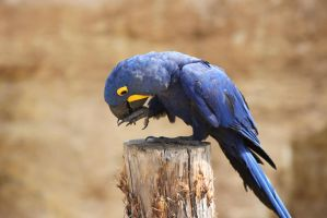 Hyacinth Macaw by Skarkdahn