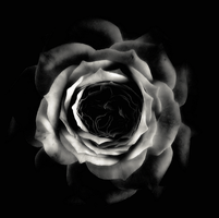 Rose in Black by intao