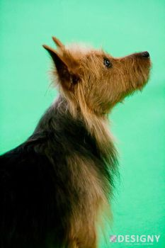 Australian Terrier :: Paying attention by Designy