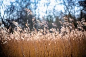A dream of reeds by bexa