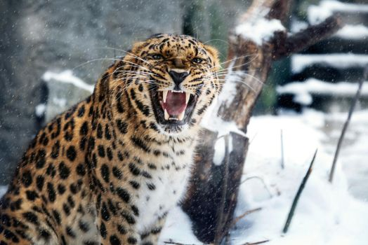 MZ Angry Amur Leopard by OrangeRoom