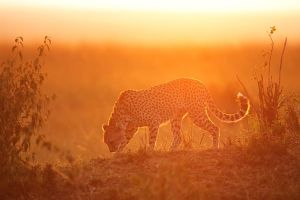 Cheetah at sunset by serhatdemiroglu