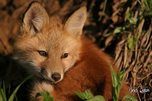 Young Fox by Robin-Hugh
