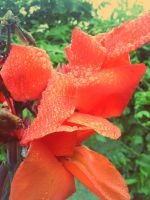 Huge red flower, after rain 2 by pooribu