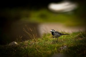 norvegian pied wagtail by MrBlueSky1987