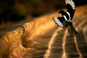 Magpie by will909