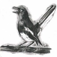 Magpie Sketch by Coraleat