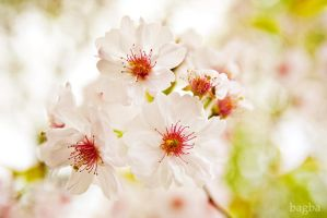 Cherry Tree by bagba