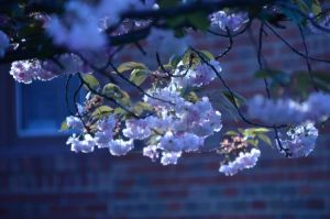 Cherry blossoms by AmberPalette