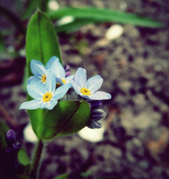 Forget me not. by MateuszPisarski