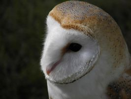 Barn Owl by Moved2CatnipCupcakes