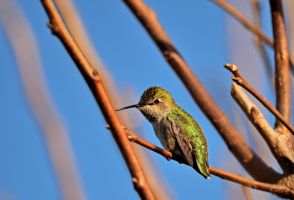Hummingbird with attitude by yo13dawg