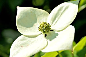 Dogwood Flower by ParadoxGirl411