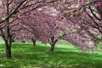 Cherry Blossoms Stock 35 by FairieGoodMother