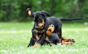 Playing doberman puppies from the S-litter by felill