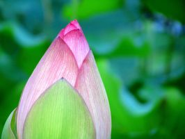Lotus Bud by InfiniteLytt