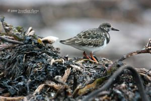 130210 Winter Turnstone 1 by JonathanCarre