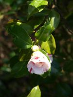 Variegated Camellia Stock 05 by botanystock