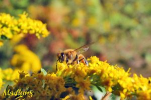 Wasp on Goldenrod by madlynx