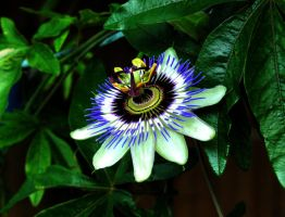 Passionflower by N4ri0x