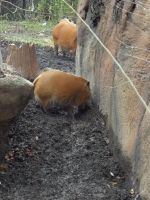Red River Hogs 2 by Dandric101