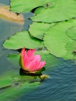 ++ waterlily +allurement by charmbuster