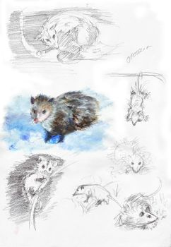 Opossum by Voldy-pet