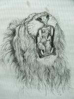 Lion by hackamore