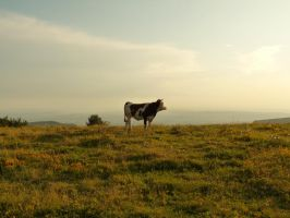 Cow at sunset 1 by III-HATHOR-III