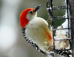Red Bellied Woodpecker 2013 by natureguy