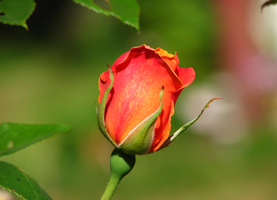 Rose by PhotographyFace