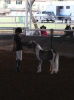 presenting to the judges 3yo halter challenge by angel-brittony-adams