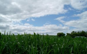 Corn in July by jimmyselix