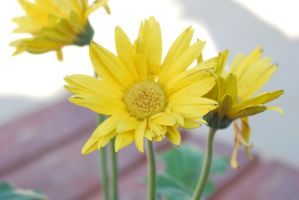 Yellow Sunflower Stock 6 by IllusionsGlade